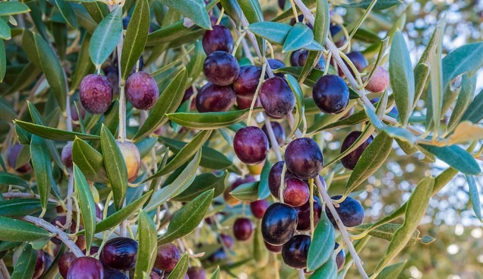 Zeytinin yararları nelerdir? Zeytin yaprağı nasıl tüketilir? Zeytin çekirdeği yutarsanız…